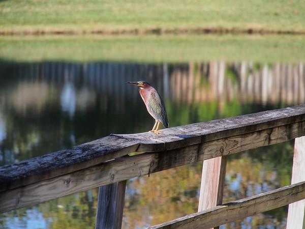 Photo of a Green Heron.